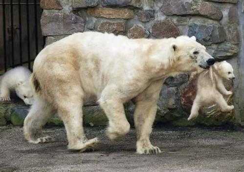 oso-polar-cria